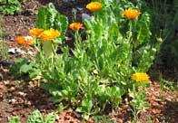Ringelblumen und Mangold vom Dach