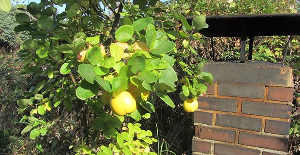 Ein Apfelbaum auf einem begrünten Dach